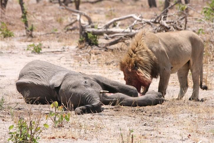 Lion vs elephant